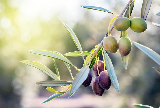 Der olivenzweig in seinem baum ist fast stumm und wird gesammelt, um öl zu gewinnen.