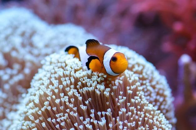 Der orangefarbene clownfisch amphiprion percula schwimmt zwischen den korallen in einem meerwasseraquarium.