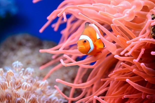 Der orangefarbene clownfisch amphiprion percula
