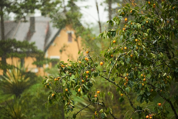 Der orangenbaum mit haus am hintergrund