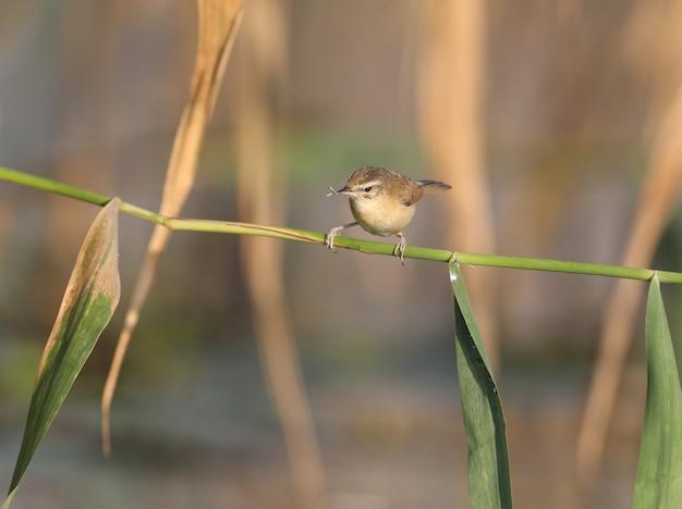 Der paddyfield-trällerer im weichen morgenlicht