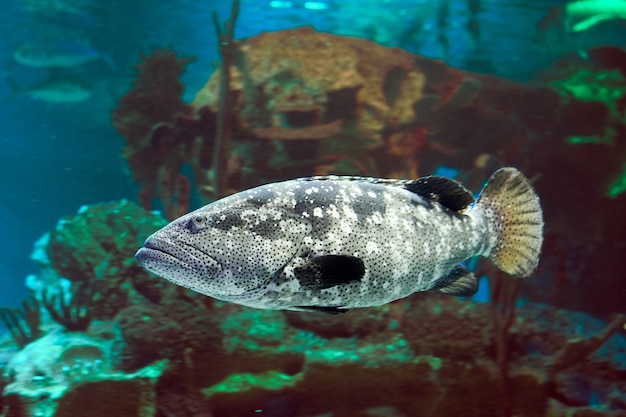 Der pazifische goliath-zackenbarsch oder epinephelus quinquefasciatus ist eine art von meeresfisch mit rochenflossen, die im östlichen pazifik vorkommt