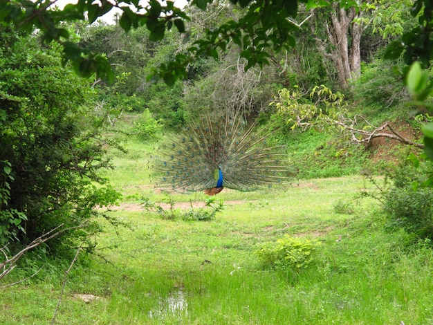 Der pfau auf der safari im yala-nationalpark, sri lanka