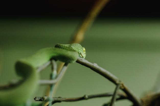 Der pitviper mit den weißen lippen ist eine schlange, die nach nächtlichen aktivitäten am boden sucht. leben oft in bäumen