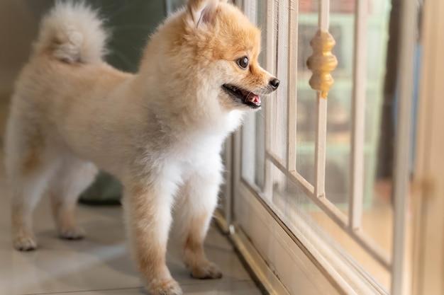 Der pommersche hund wartet darauf, dass jemand die tür öffnet. niedliches hündchen, das an der haustür sitzt und nach draußen schaut