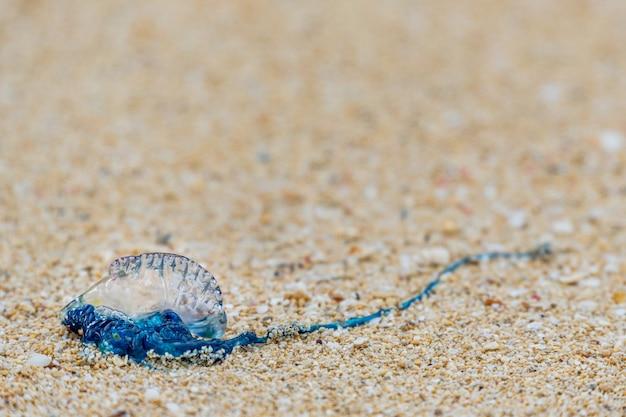 Der portugiesische man-o-war wurde am waimanalo beach in hawaii angespült