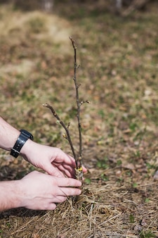 Der prozess der veredelung von bäumen im garten