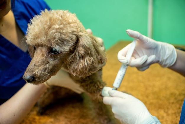 Der prozess des einführens eines tieres in die anästhesie