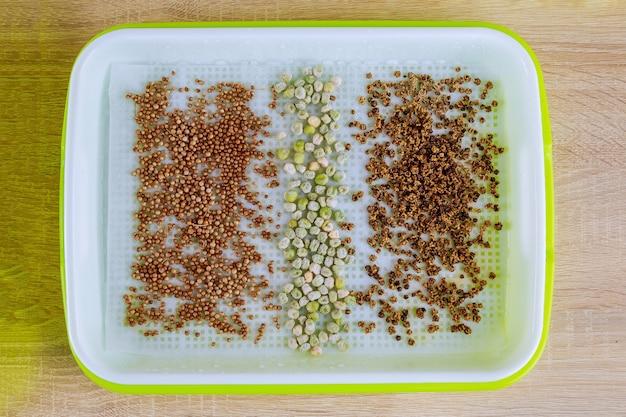 Der prozess des pflanzens von samen in mikrobegrünungsschalen. keimung von samen. wachsende microgreens.