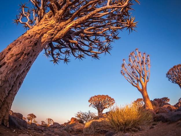 Der quivertree-wald bei sonnenaufgang nahe keetmanshoop in namibia, afrika.