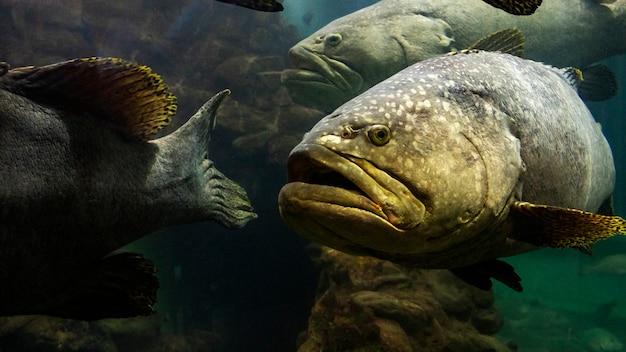 Der riesenbarschfisch in der andamanensee