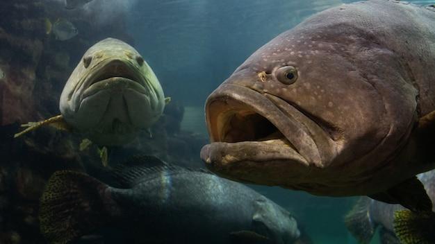 Der riesige zackenbarsch im andaman meer.
