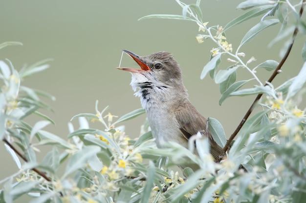 Der rohrsänger singt in einem busch aus silberbaum Premium Fotos