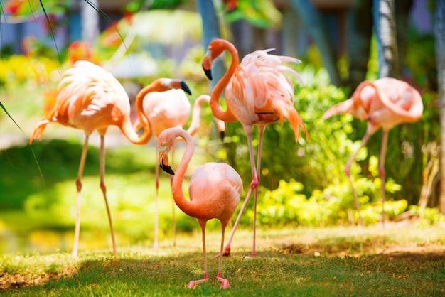 Der rosa karibische flamingo geht auf wasser