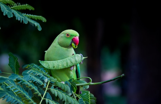 Der rose ringed parakeet