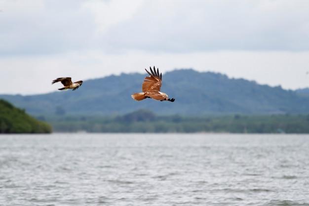 Der rote adler fliegt am himmel in der natur bei thailand