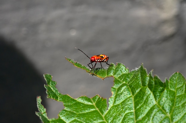 Der rote baumwollfärber dysdercus cingulatus ist eine echte käferart aus der familie der pyrrhocoridae mit grauem, unscharfem hintergrund