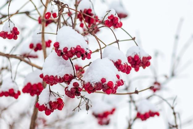 Der rote beeren-guelder stieg mit schnee bedeckt. schneefall im garten_