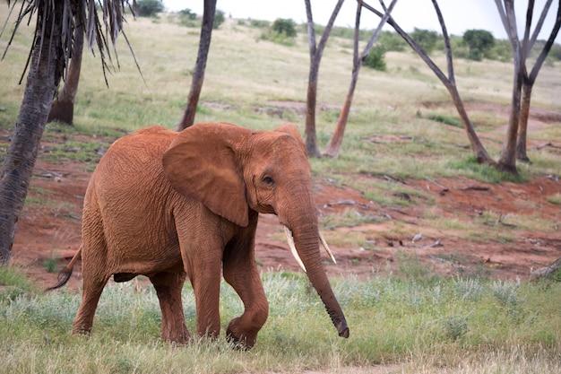 Der rote elefant geht zwischen palmen und bäumen umher