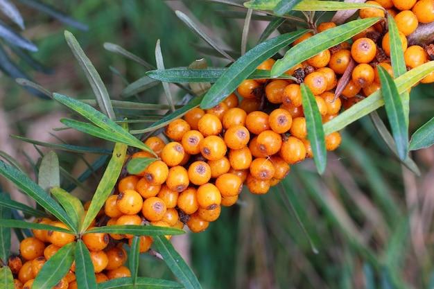 Der sanddorn wächst auf einem busch oder einem baum