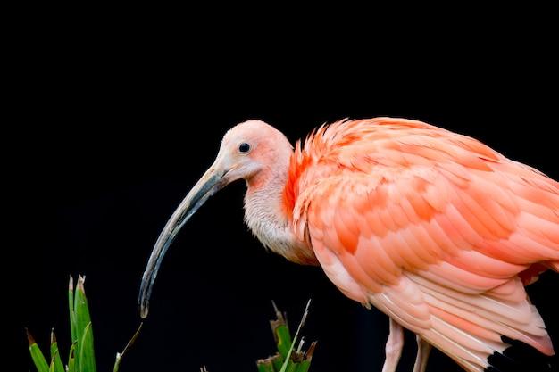 Der scharlachrote ibis