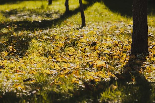 Der schatten eines baumes im herbstgarten. um vergilbte blätter