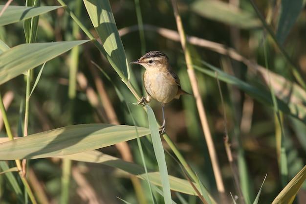 Der schilfrohrsänger (acrocephalus schoenobaenus) wird im sanften morgenlicht in einem schilfbeet aus nächster nähe fotografiert. vogelbestimmung ist möglich.