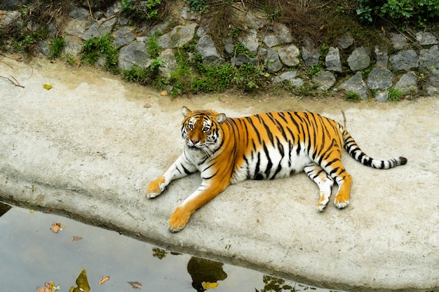 Der schöne bengal-tiger liegt am ufer des teiches im zoo. zoo-konzept. schwangere tigerin entspannt.