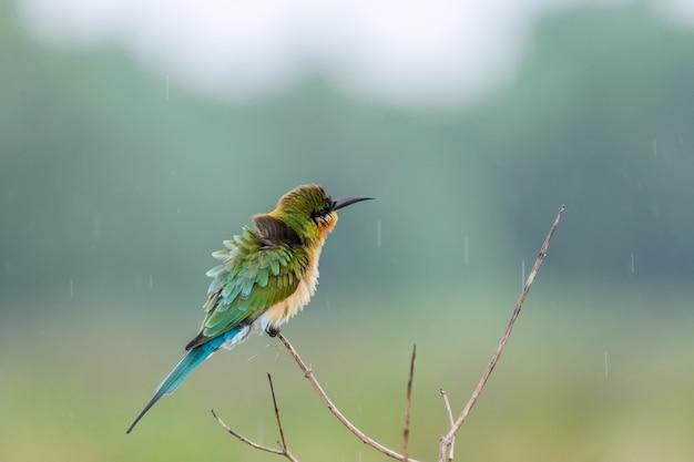 Der schöne bienenfresser mit blauem schwanz (merops philippinus) thront im regen