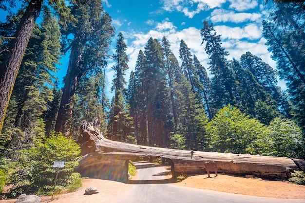 Der schöne tunnelbaum namens tunnel log im sequoia national park, kalifornien. vereinigte staaten