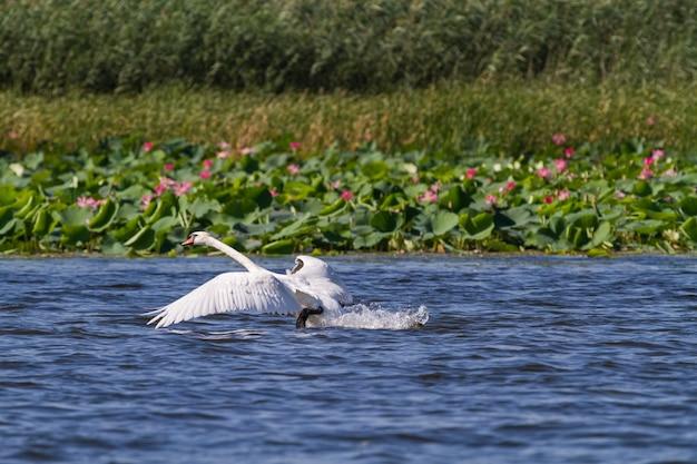 Der schwan fliegt in die luft