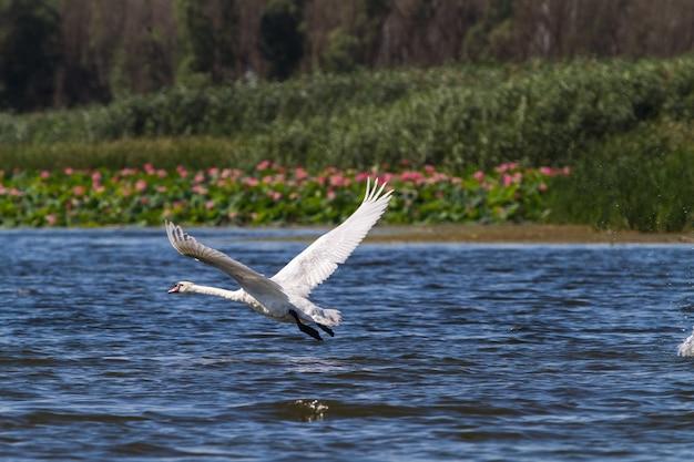 Der schwan rennt hoch und fliegt in die luft