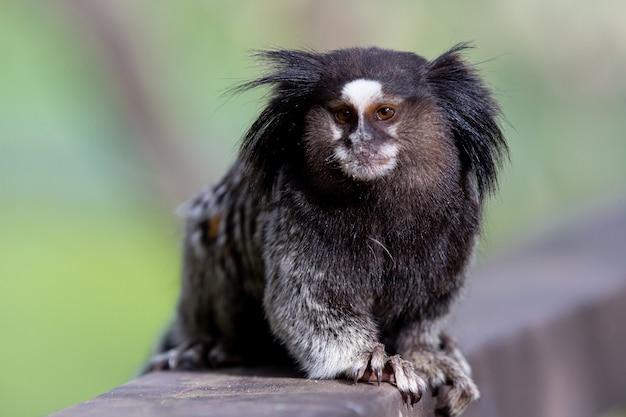 Der schwarzbüschelaffen-sternaffe oder einfach sagui ist eine affenart