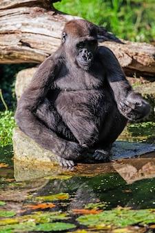 Der schwarze gorilla