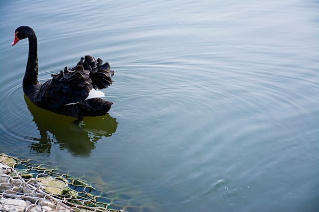 Der schwarze schwan schwimmt auf dem wasser. wilder vogel freier vogel. platz für text.
