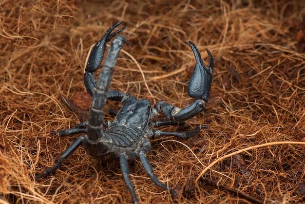 Der schwarze skorpion im verteidigungsmodus