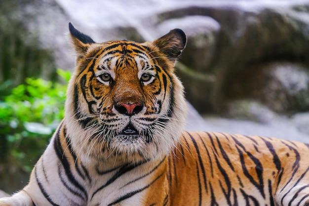 Der sibirische tiger (panthera tigris tigris) wird auch amurtiger genannt