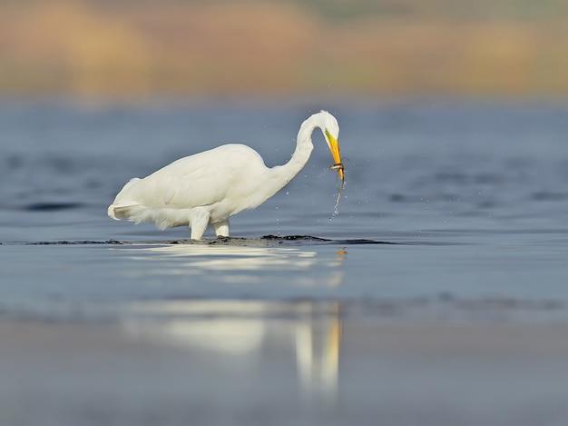 Der silberreiher ardea alba. großer weißer reiher in erstaunlich weichem morgenlichtungewöhnliche perspektive und weiches morgenlicht