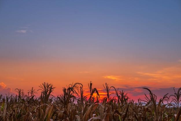 Der sonnenuntergang auf dem maisfeld