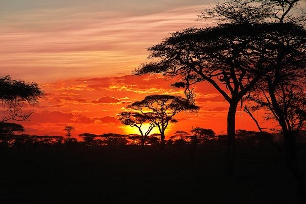 Der sonnenuntergang auf savanne, afrika. die sonne in den zweigen einer akazie.