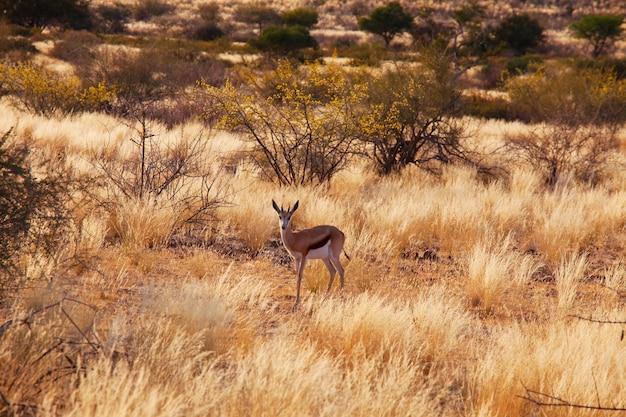 Der springbock (antidorcas marsupialis) im afrikanischen busch, namibia.