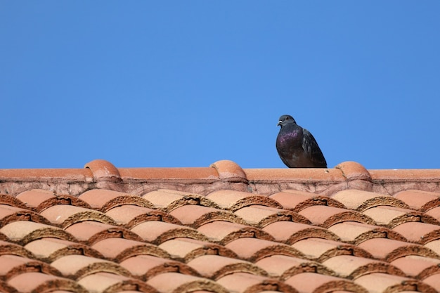 Der stadttaubenvogel auf orange dachhaus