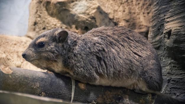 Der steinhyrax procavia capensis, auch steindachs, steinkaninchen und kaphyrax genannt, steht auf einem stein