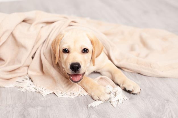 Der süße labrador-welpe liegt auf dem boden unter der decke des hauses. haustier. hund. foto in hoher qualität