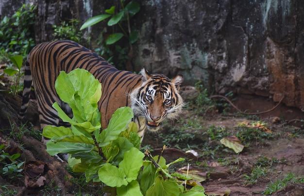 Der sumatra-tiger