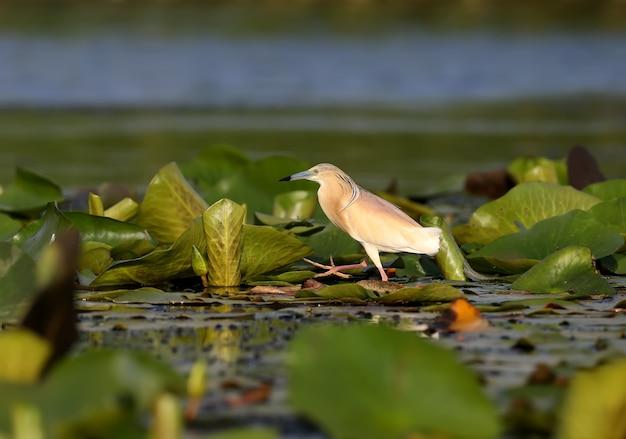 Der tabakreiher (ardeola ralloides) steht auf den blättern von wasserpflanzen und hält in den strahlen des weichen morgenlichts ausschau nach seiner beute.