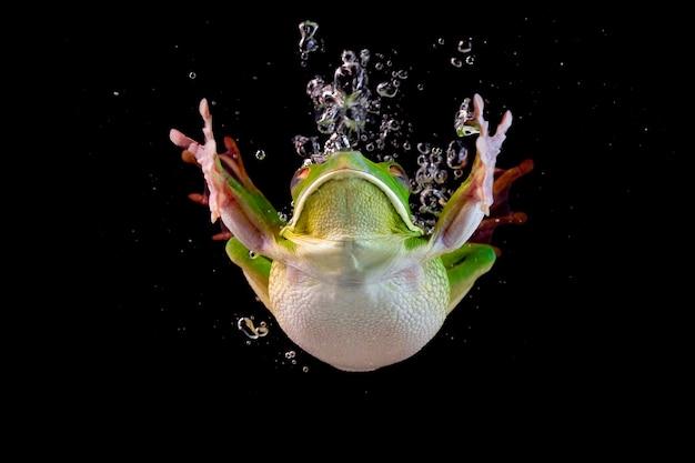Der tauchende laubfrosch, frosch im wasser