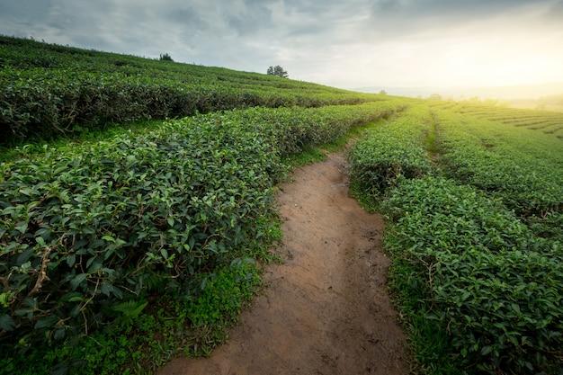 Der teeplantagenhintergrund, teeplantagen am sonnigen tag.