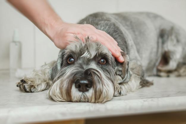 Der tierarzt aus der nähe nimmt mit einer spritze blut aus der pfote eines hundes zur analyse. veterinärkonzept.