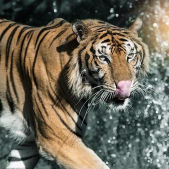 Der tiger geht im wald spazieren, um nahrung zu finden. (panthera tigris corbetti) im natürlichen lebensraum, wildes gefährliches tier im natürlichen lebensraum, in thailand.